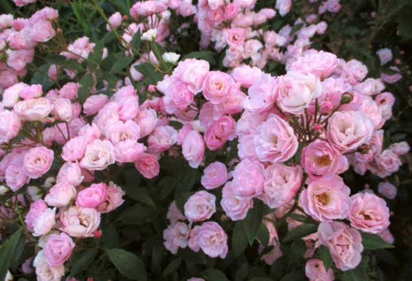 Heavenly Pink (Хэвенли Пинк) Lens Бельгия, 1997