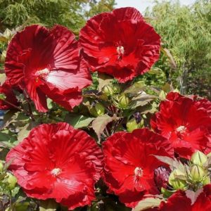 Hibiscus moscheutos «Robert Fleming» Гибискус «Роберт Флеминг»
