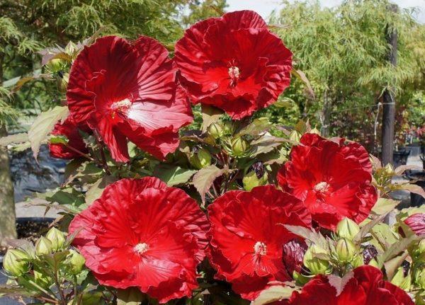Hibiscus moscheutos «Robert Fleming» Гибискус «Роберт Флеминг»