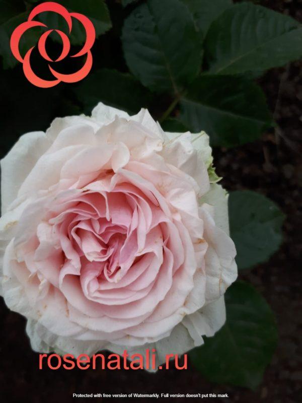 НОВИНКА Candy Flow (Кэнди Флоу) Interplant Roses B.V. Нидерланды, 2017