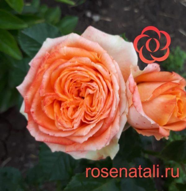 НОВИНКА Charming Flow (Чарминг Флоу) Interplant Roses B.V. Нидерланды, 2017