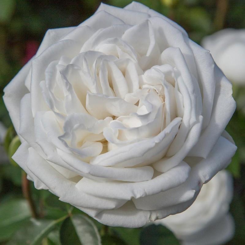тарзан имеет роза меньян пьер ардити фото этой спальне