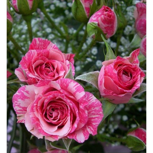 Pink Flash (Пинк Флеш) Interplant Нидерланды
