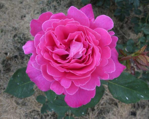 Pink pins (Пинк Пинс) Франция